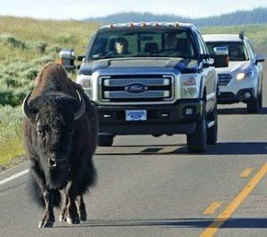 buffalo blocking traffice